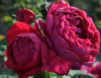 "Роза чайно-гибридная ""Аскот"""