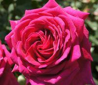 "Роза чайно-гибридная ""Биг Перпл"""