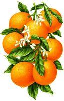 """Алмазная вышивка-мозаика """"Гроздь апельсинов"""""""