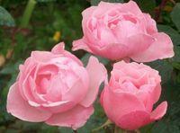 "Роза чайно-гибридная ""Квин Элизабет"""