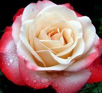"""Роза чайно-гибридная """"Ностальжи"""""""