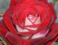 """Роза чайно-гибридная """"Осирия"""""""
