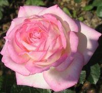 "Роза чайно-гибридная ""Принцесс де Монако"""