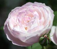 "Роза французская ""Дюшес де Монтебелло"""
