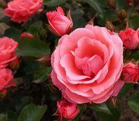 "Роза флорибунда ""Тип Топ"""