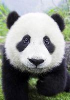 """Алмазная вышивка-мозаика """"Любопытная панда"""" (200х300 мм)"""