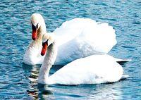 """Папертоль """"Белые лебеди"""" (190х140 мм)"""