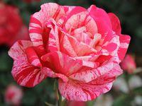"""Роза чайно-гибридная """"Папагено"""""""