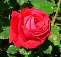 """Роза чайно-гибридная """"Дам де Кюр"""""""