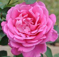 "Роза чайно-гибридная ""Пинк Пис"""