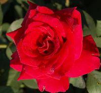"""Роза чайно-гибридная """"Фюльгюрант"""""""