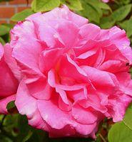 """Роза флорибунда """"Венеда"""""""